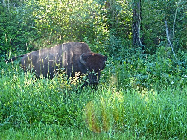 Buffalo in the brush on our hiking trail.