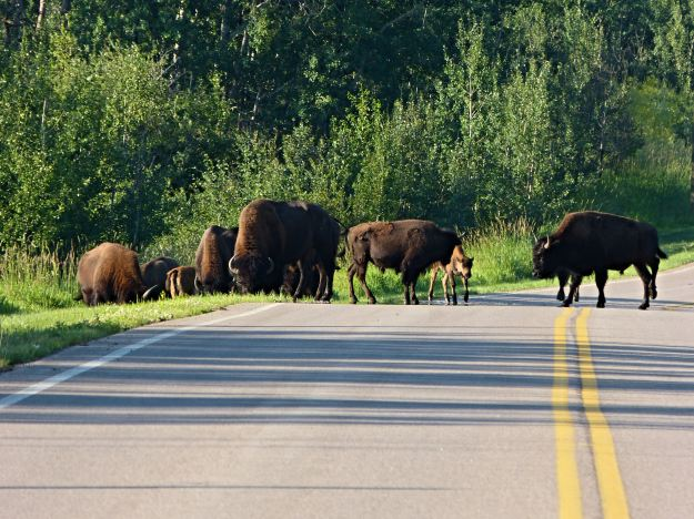 Buffalo were every where, even on the roadways. I was glad I was not sleeping in our tent!