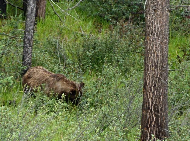 Grizzly Bear at edge of Whistler Campground, foraging.