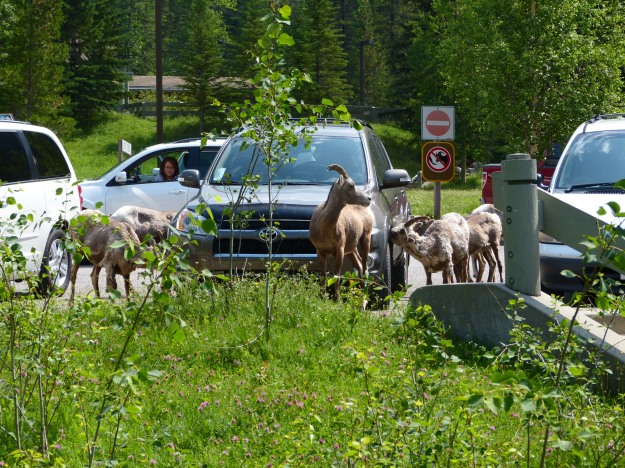 More sheep at Miette Springs parking lot.