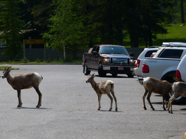 Big Horn Sheep at Miette Springs parking lot.