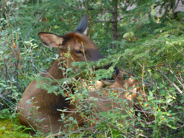 Baby elk sleeping  next to our campsite at Whistler in Jasper.