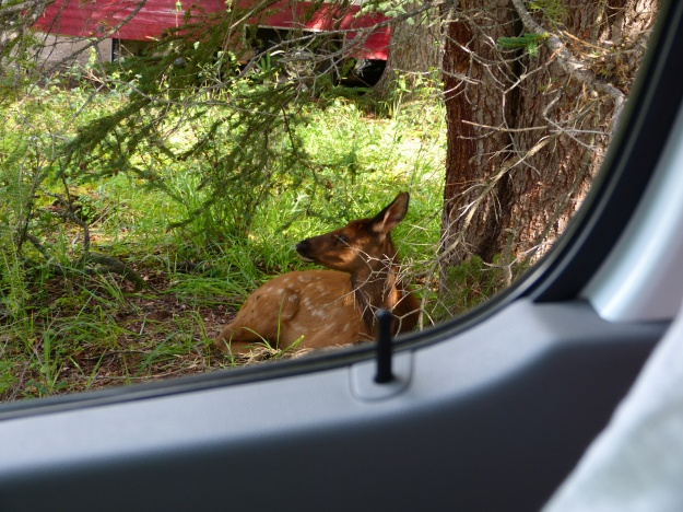 Elk calf resting right outside our camper at Whistler Campground, Jasper NP.