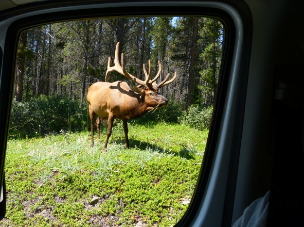 Another Elk from the View's window as we leave Banff.