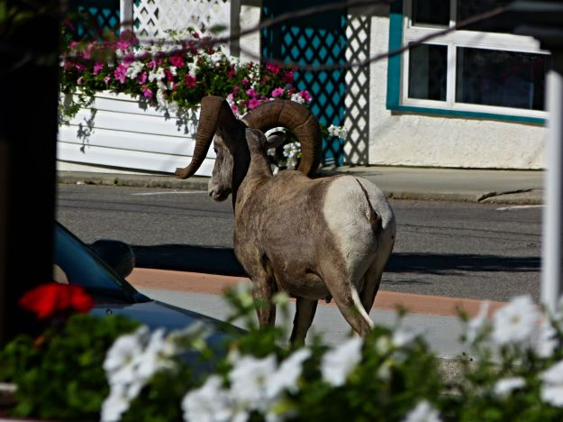 Big Horn in center of Radium Springs