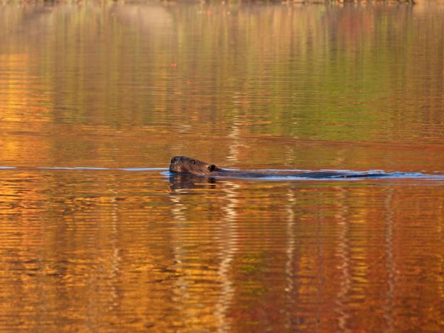 This is the beaver that warned the Sugar Hill animal community that we were on the lake!