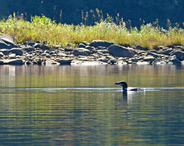 Loon on Chittenden