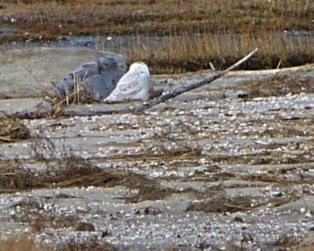 A Snowy Owl at Hammonassett State Park last week.