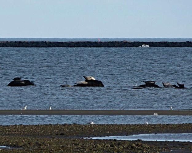 Seals basking in the sun at Hammonassett State Park