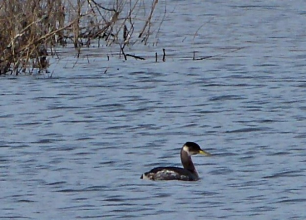 Campside Grebe  in Georgia.