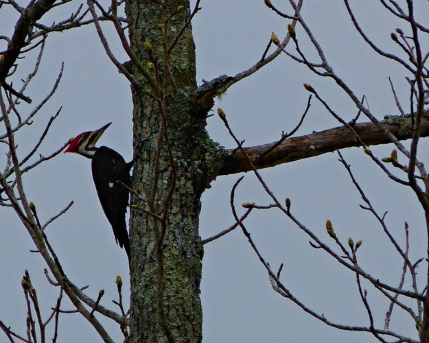 Pileated Wood Pecker near campsite.