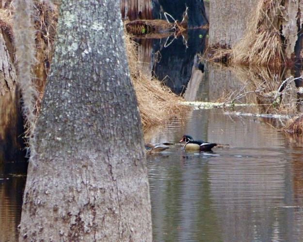 Wood Duck in the adjacent swamp.