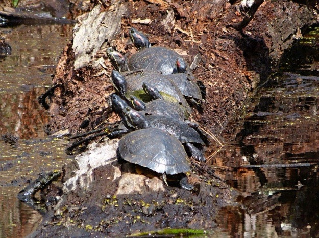 Turtles huddled together to keep warm!