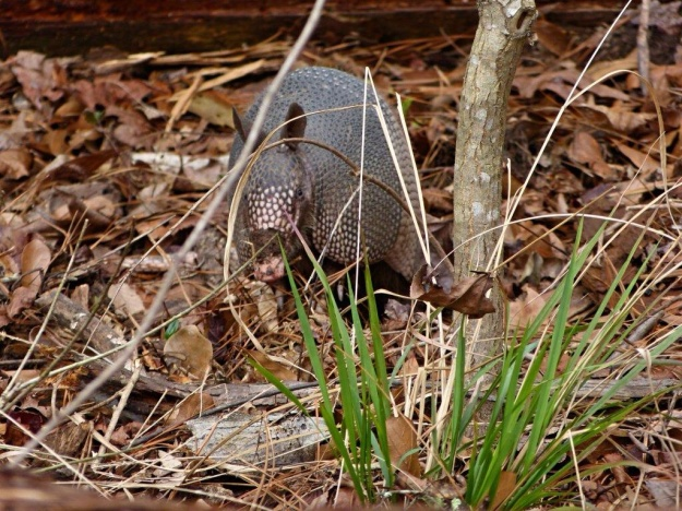 An Armadillo looking at Charlie on our hike today.
