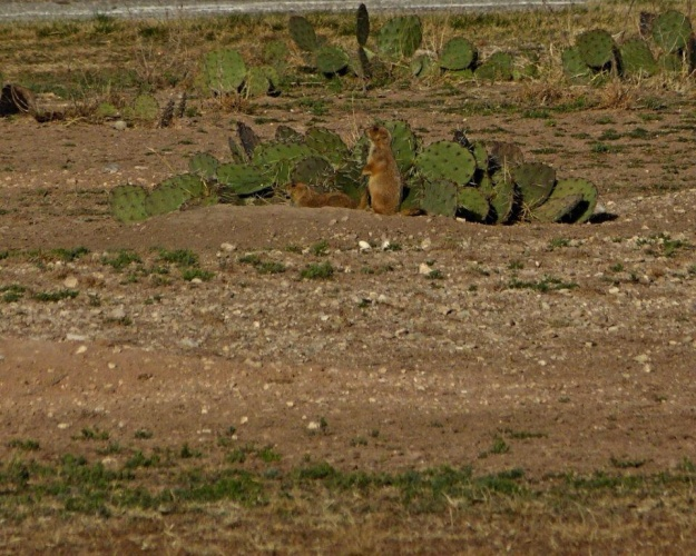 Prairie dogs near our campsite.