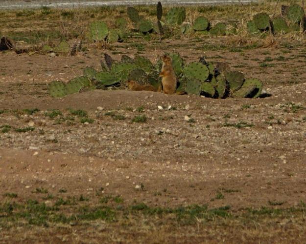 Prairie dogs near our campsite.