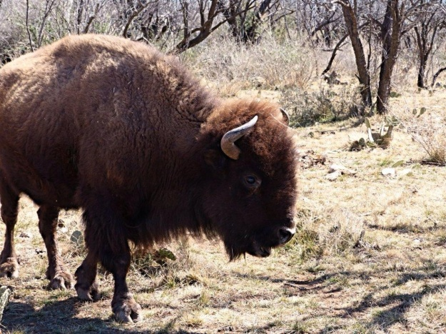 Buffalo at San Angelo state Park