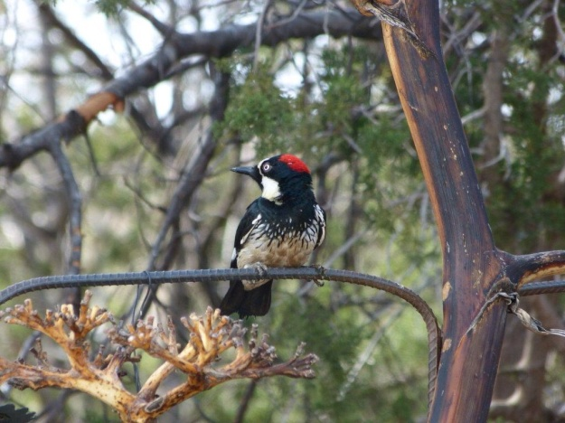 Acorn Woodpecker at Davis Mtn SP