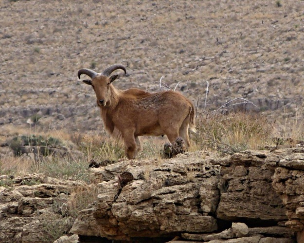 Goat on way to Carlsbad Caverns