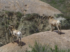 Two Big Horn Sheep in Badlands National Park