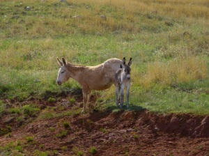Wild burros at Custer State Park