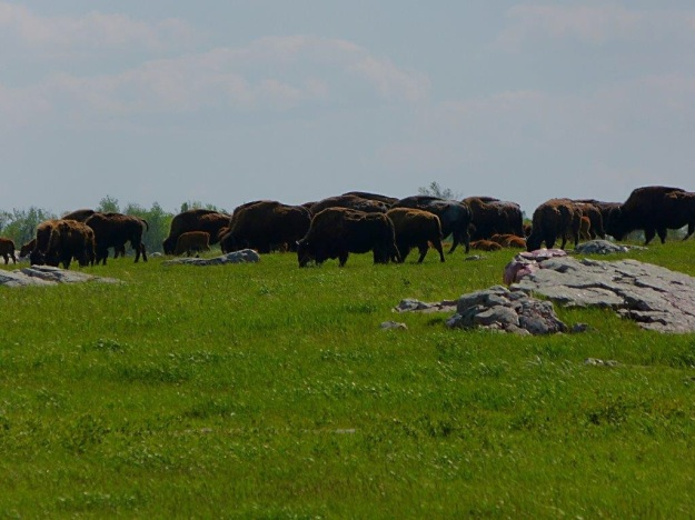 Bison grazing at Blue Mound State Park