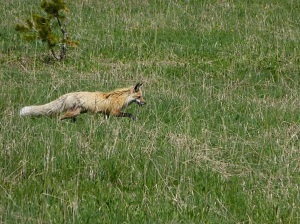 Fox right outside of Fishing Bridge