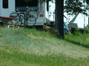 Coyote visiting another campsite after WB chased him away from ours!