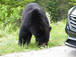 Bear on side of Columbian Icefield Parkway