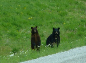 Two young bears on the side of the Alaskan Highway.