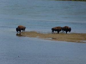 Bison never bore!