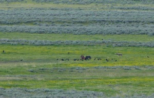 The best Charlie's camera could do. Four wolves, one rib cage in the distance!